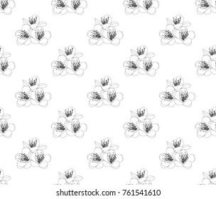 Prunus persica - Peach Flower Blossom on White Background. Vector Illustration.