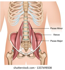 Psoas major muscle anatomy 3d medical vector illustration on white background