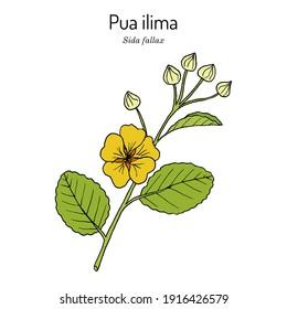 Pua ilima, (Sida fallax), state flower of the island of Oahu Hawaii. Hand drawn botanical vector illustration
