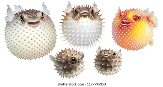 Puffer fish on white background  [Tetraodontidae]
