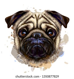 Pug. Artistic graphic, hand-drawn color portrait of the head of a pug breed dog on a white background with splashes of watercolor.