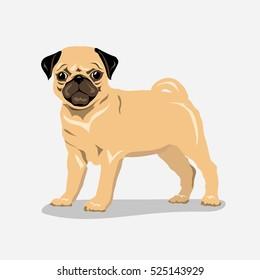 pug dog at one color background