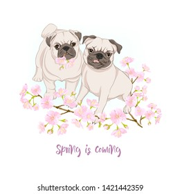Pug dogs with blooming sakura spring flowers. Vector illustration.