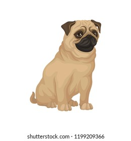 Pug with funny muzzle sitting isolated on white background. Dog with beige coat, brown ears and shiny eyes. Flat vector icon