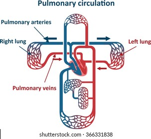 Pulmonary circulation images stock photos vectors shutterstock ccuart Image collections