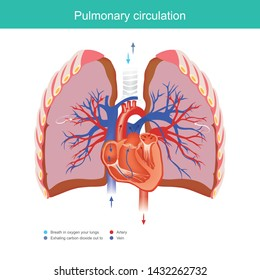 Pulmonary circulation. Explain working duty for the heart and lungs apply oxygen gas from the environment into the blood system in the human body and out carbon dioxide into the environment.