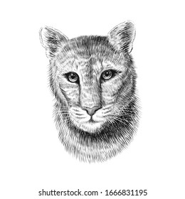 Puma head, sketch vector graphic monochrome illustration on white background. Hand drawn American mountain lion portrait. Cougar, red tiger cat, panther animal.