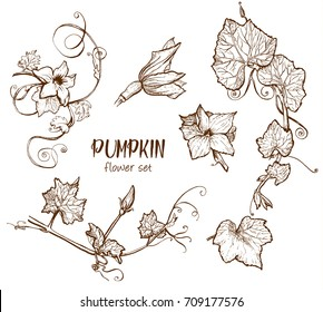 Pumpkin flower sketch hand drawn illustration. Isolated hand drawn object. Vegetable engraved style illustration. Detailed vegetarian food sketch. Farm market product.