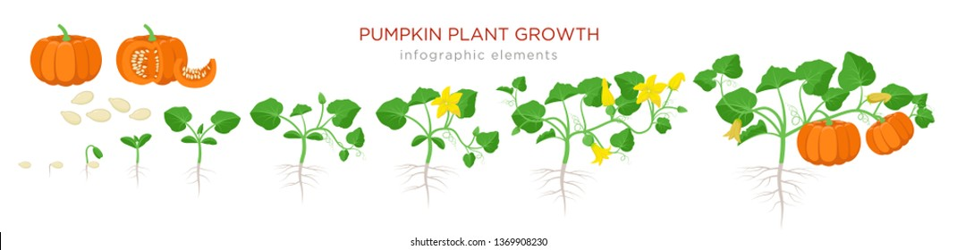 Pumpkin plant growth stages infographic elements in flat design. Planting process of Cucurbita from seeds, sprout to ripe vegetable, plant life cycle isolated on white background vector illustration.