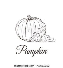 Pumpkin sketch drawing with leaves, vector illustration