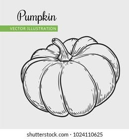 Pumpkin  vector illustration. Engraving vegatable. Isolated pumpkin. Detailed vegetarian food. Farm market product.