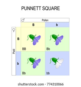 Punnett square. genetics. biological inheritance, for example pea plants. diagram showing typical test crosses and the potential outcomes. heterozygous, recessive, and dominant