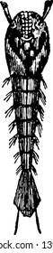 Pupa of the Gnat there is no digestive system vintage line drawing or engraving illustration.