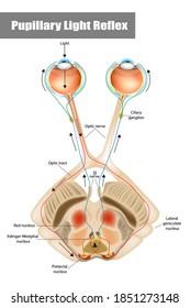 Pupillary light reflex (PLR) or photopupillary reflex. Schematic drawing of the pupillary light reflex pathway.