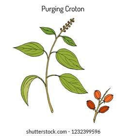 Purging Croton, medicinal plant. Hand drawn botanical vector illustration