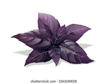 Purple Basil Isolated On White Background