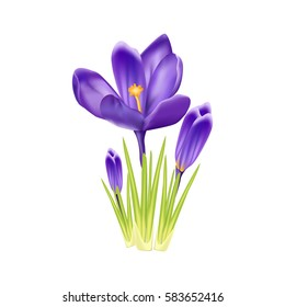 Purple crocus on a white background