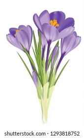 Purple crocus - a spring flower (podsnezhnik).