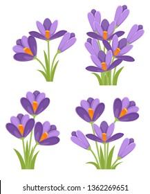 Purple crocuses. Crocus vernus Spring Crocus, Giant Crocus . Purple early spring flower. Flat vector illustration isolated on white background. Icon set.