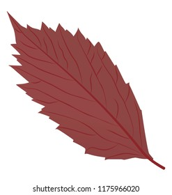 Purple dry leaf with cutted edges, American hornbeam