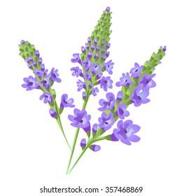 Purple flowers. Verbena . Vector.