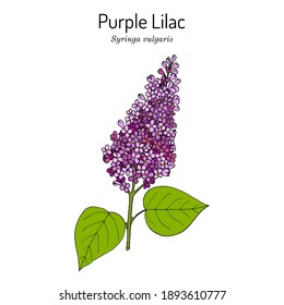 Purple lilac (Syringa vulgaris) state flower of New Hampshire. Hand drawn botanical vector illustration