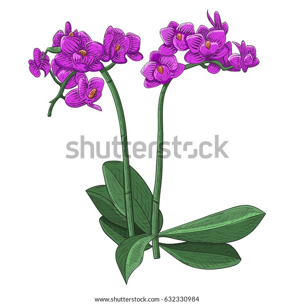 Purple phalaenopsis orchid. Hand drawn sketch. Vector illustration isolated on white background