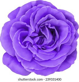 Purple Rose Flower isolated on white background. Vector illustration