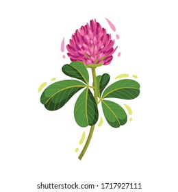 Purple Trifolium or Clover Flower Head on Green Stem with Trifoliate Leaves Vector Illustration