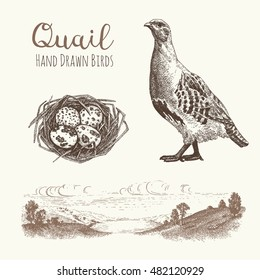 Quail 1. Set of vector graphic illustrations of quail, quail eggs and habitat of quail.