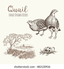 Quail 2. Set of vector graphic illustrations of quail, quail eggs and habitat of quail.