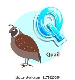 Quail bird for Q letter representation vector. Fresh idea for enjoyable developmental and entertaining alphabet lessons with preschoolers.