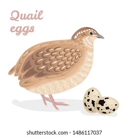 Quail and eggs isolated on a white background. Farm poultry. Vector illustration in cartoon simple flat style.