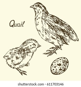 Quail, Quail-poult and egg set, sketch in pop art style, isolated vector illustration