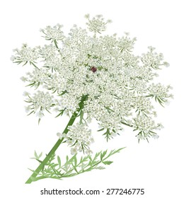 Queen Anne's Lace.Hand drawn vector illustration of a wild carrot flower, a composite umbrella with white flowers and one red flower in the center.Realistic style, accurate details, white background.