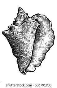 Queen conch illustration, drawing, engraving, ink, realistic, vector