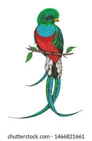 Quetzal  vector illustration. Hand drawn quetzal bird. Colorful illustration. Quetzal sitting on a branch.