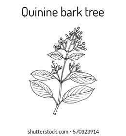 Quinine Bark Tree (Cinchona officinalis), medicinal plant. Hand drawn botanical vector illustration