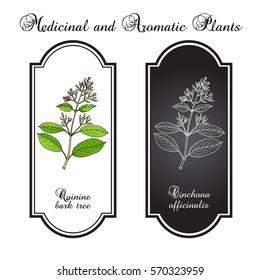 Quinine Bark Tree (Cinchona officinalis), medicinal plant. Hand drawn botanical vector illustration