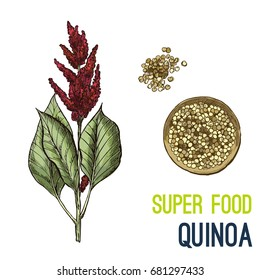 Quinoa. Full color super food hand drawn sketch vector illustration.
