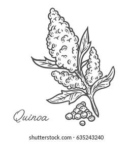 Quinoa seed plant, leaf, branch. Hand drawn engraved vector sketch etch illustration. Superfood for desserts. Nutrition, detox, omega tree, vitamin ingredient.