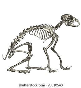 Rabbit skeletal - vintage engraved illustration -
