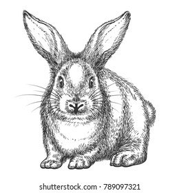 Rabbit sketch. Vector hand drawn wild rabbit isolated on white background, vintage hare or bunny black drawing
