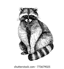 Raccoon. Hand drawn illustration of cute bakck and white animal. Line art drawing in vintage style. Funny image.