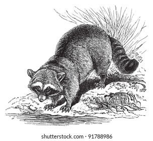 Raccoon (Procyon lotor) / vintage illustration from Meyers Konversations-Lexikon 1897