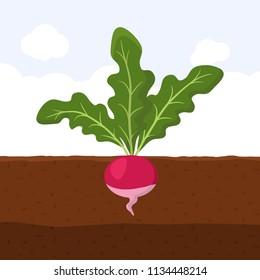 Radish with green leaves on top in soil, Fresh organic vegetable garden plant growing underground, Cartoon flat vector illustration.