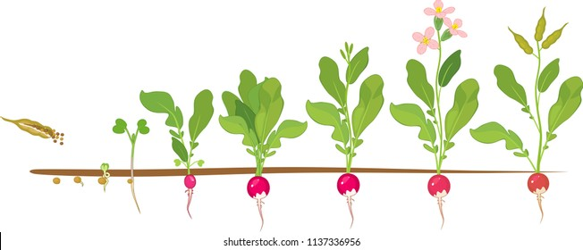 Radish life cycle. Consecutive stages of growth from seed to flowering and fruit-bearing plant