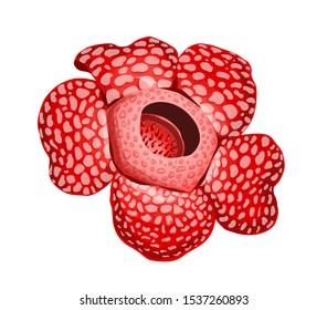 Rafflesia arnoldii flower. Vector illustration, jungle tropical plant