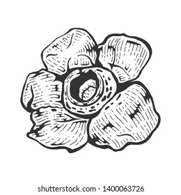 Rafflesia parasitic giant flower sketch line art engraving vector illustration. Scratch board style imitation. Black and white hand drawn image.