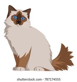Rag doll cat on white background